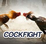 cockfight Agen Bola Terbaik
